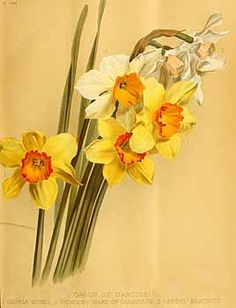 200474 Narcissus hort.  / The garden. An illustrated weekly journal of horticulture in all its branches [ed. William Robinson], vol. 36:  (1889)
