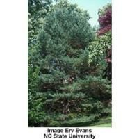 36 Best Trees For Your Yard Images Shade Trees Fast