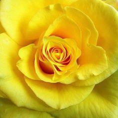 Yellow rose via Colorfull at www.Facebook.com/colorfullss