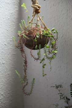 Succulents in coconut shell