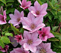 NEW! Clematis Summerdream - White Flower Farm....Blooms are 3-4 in. wide, and grows 5-6 feet high.  A light pink, long blooming (June to Sept.) beauty.  Prune only damaged stems in early Spring,