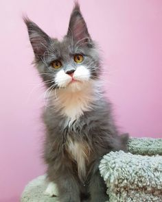 Cute Cats And Kittens, I Love Cats, Cool Cats, Kittens Cutest, Funny Kittens, White Kittens, Baby Kittens, Pretty Cats, Beautiful Cats