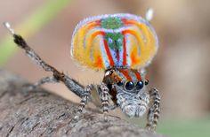 La araña pavo real es una especie de invertebrado arácnido perteneciente al género Maratus de la familia de los saltícidos que habita en Australia.