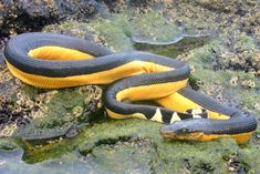 17 Species of Elapids - Amazing Snakes....,yellow bellied sea-snake
