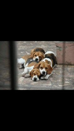 Beagle pack resting and watching. Must be close to dinner time
