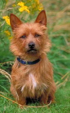 El Terrier Australiano (Australian Terrier) es una raza de perro perteneciente a la familia de los Terrier, clasificada dentro de la Sección 2.  Es un perro vivaz, atento y con una expresión facial que denota inteligencia, lealtad y fidelidad.  En ocasiones puede llegar a ser dominante por lo que un buen adiestramiento desde temprana edad sería lo adecuado.