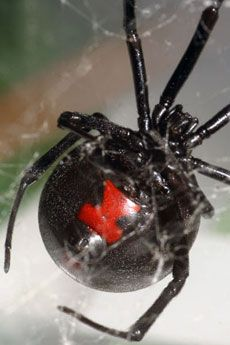 I know a black widow. Only, she doesn't kill her mates, she pulls them into her infidelity and marks another notch on her belt.