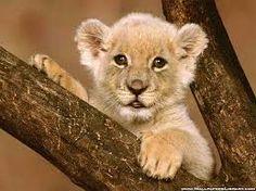 Bildresultat för lejon foto