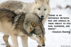 Wolf meme.
