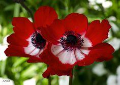 Flores rojas anémonas
