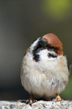 東京もついにソメイヨシノ咲いたんだね〜♪ #スズメ #Sparrows #鳥 #Birds #東京 #写真好きな人と繋がりたい