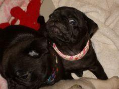 My little puggie Maggie!!!  Schroeder Pup's