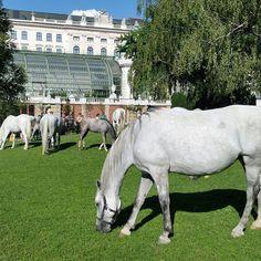 only in vienna 😍 Vienna, Austria, Horses, Animals, Animales, Animaux, Animal, Animais, Horse