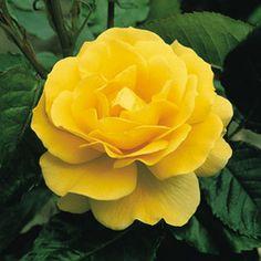Rose Korresia