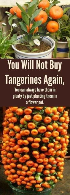 Hydroponics Gardening You Will Not Buy Tangerines Again, You can always have them in plenty by just planting them in a flower pot - You Will Not Buy Tangerines Again, You can always have them in plenty by just planting them in a flower pot. Indoor Vegetable Gardening, Hydroponic Gardening, Hydroponics, Organic Gardening, Container Gardening, Texas Gardening, Greenhouse Gardening, Urban Gardening, Fruit Garden