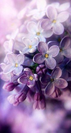 "carasposa: "" Lilac blossom on We Heart It. """