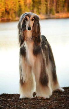 Adorable Afghan Hound #afghanhound #pets http://www.nojigoji.com.au/