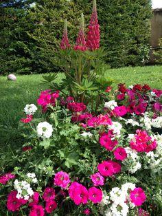Joli parterre de fleurs avec la verveine blanche que j'aime de plus en plus