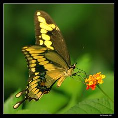 Giant Swallowtail, Papilio cresphontes With a wing span often exceeding five inches, the giant swallowtail is one of the largest North American butterflies. Ranging throughout most of the U.S., the giant swallowtail is particularly abundant in the southern states where it is a common garden visitor. The giant swallowtail is at home in a wide variety of habitats including forest edges, agricultural farmland, dry pinelands, citrus groves and suburban gardens. The larvae feed on citrus-family…