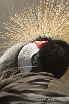 African Crowned Crane | Flickr - Photo Sharing!