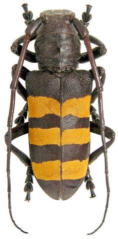 Analeptes trifasciata ,Fabricius, 1775, Cerambycidae.  Cote-d`Ivoire, Alepe, 15.02.1999