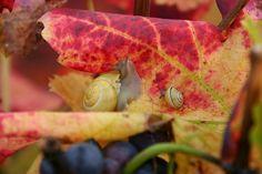 Couleurs automnales - Photographies Patrick Jassiones Snail, Champagne, Vineyard, Dawn, Photographs, Landscapes, Colors, Snails, Slug