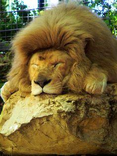 Zoo de Beauval - Lion 22