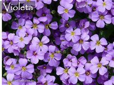 Violeta.... ABC das Mais Belas Flores