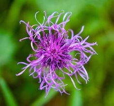 Greater Knapweed by Tobias Müller on 500px
