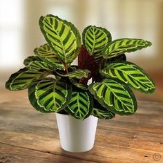 Calathea Rosea Picta - 1 plant Buy online order yours now