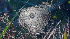 Svelato il segreto del ragno facchino: potrebbe sollevare anche un'auto