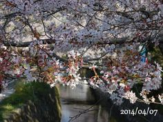 京都 哲学の道 桜 2014/04/07