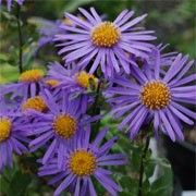 Butterfly friendly plant. Click image to learn more and to add to your own plants list. Botanical name: Aster amellus 'King George'    Other names: Italian aster 'King George'    Genus: Aster    Variety or cultivar: 'King George' _ 'King George' forms a clump of dark green lance-shaped leaves and beautiful, large, violet-purple flowers from summer into autumn.