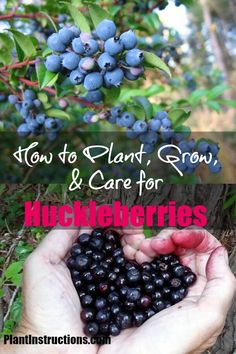 How to Grow Huckleberries How to Grow Huckleberries,Fruit Garden How to Grow Huckleberries garden ideas vegetable vegetables gardening to start in january Fruit Bushes, Blueberry Bushes, Fruit Plants, Fruit Garden, Edible Garden, Strawberry Garden, Herbs Garden, Espalier Fruit Trees, Trees To Plant