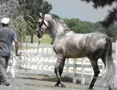 Spokane Andalusian stallion Pretty Horses, Beautiful Horses, Kairo, Andalusian Horse, Horse Stables, Shades Of Grey, Spanish, Creatures, Donkeys