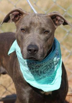 ADOPTED> NAME: Ty  ANIMAL ID: 33952293  BREED: Pit mix  SEX: male  EST. AGE: 2 yr  Est Weight: 43 lbs  Health: heartworm neg  Temperament: dog friendly, people friendly  ADDITIONAL INFO: RESCUE PULL FEE: $35  Intake date: 11/9  Available: Now