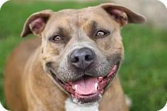 Kyle, TX - American Staffordshire Terrier Mix. Meet CARLA, a dog for adoption. http://www.adoptapet.com/pet/10633195-kyle-texas-american-staffordshire-terrier-mix