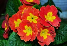 Carefully-Cultivated-Primula-Malacoides-Seeds-For-Planting-40pcs-Beautifying-Fairy-Primrose-Of-Flower-Seeds-Baby-Primula.jpg (750×520)