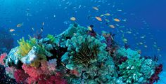 great barrier coral reef fishes | ... may be the key to saving the Great Barrier Reef (with video