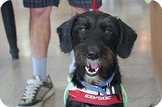 Chatsworth, CA - Irish Terrier/Terrier (Unknown Type, Small) Mix. Meet Montana, a dog for adoption. http://www.adoptapet.com/pet/12727008-chatsworth-california-irish-terrier-mix