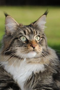 Beautiful maine coon. The other cat I've been waiting forever to have