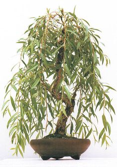 Image of weeping willow bonsai tree stock photo