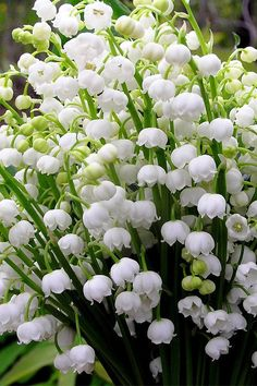 Lily of the Valley Flowers Exotic Flowers, Amazing Flowers, Fresh Flowers, Spring Flowers, White Flowers, Beautiful Flowers, Flowers Nature, Plantas Bonsai, Lily Of The Valley Flowers