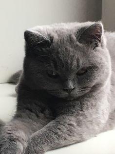 The plotter of evil things Beautiful Cats, Animals Beautiful, Cute Animals, British Short Hair, F2 Savannah Cat, Angry Cat, Tier Fotos, Grey Cats, Domestic Cat