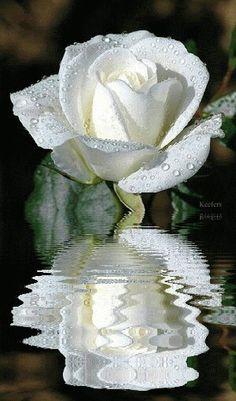 White rose image
