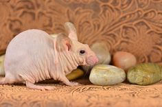 Hairless rats are produced by breeding different combinations of genes. On the other hand, hairless lab rats provide researchers with valuable data on compromised immune systems and genetic kidney diseases.