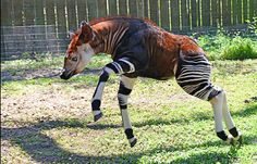 Okapi: This faux-zebra mammal is native to the Democratic Republic of the Congo in Central Africa. Even though it looks like a zebra, it's actually closely related to the giraffe. Bizarre Animals, Unusual Animals, Animals And Pets, Cute Animals, Beautiful Creatures, Animals Beautiful, Flora Und Fauna, Okapi, Animal Species