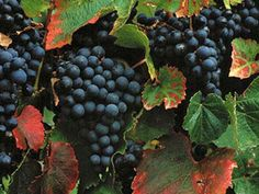 How did Malbec become Argentina's king of wines? Please read my latest blog article to find out!