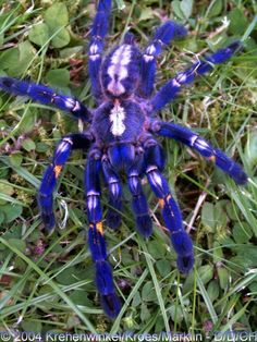NOT Photoshoped! Poecilotheria metallica is a species of tarantula. It reflects brilliant metallic blue color. Like others in its genus it exhibits an intricate fractal-like pattern on the abdomen.