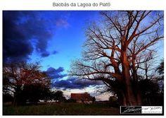 Baobás da Lagoa do Piató